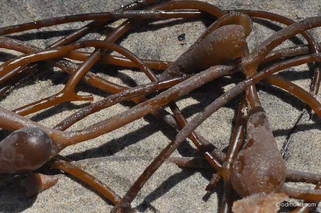 seaweed at Huntington Beach CA 3