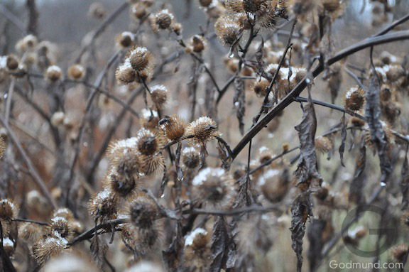 Snow covered brambles