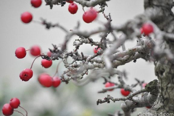 Christmas at the Arboretum photographs bonsai berries