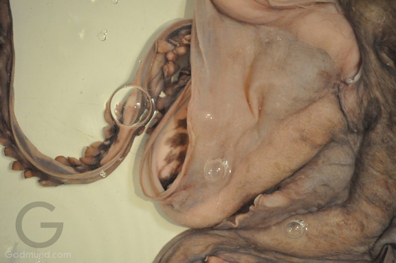 Octopus in the tub - Godmund