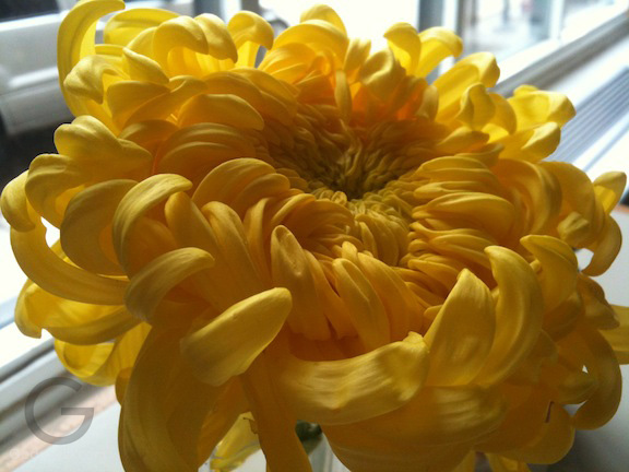 Chrysanthemum in a diner in boystown Chicago