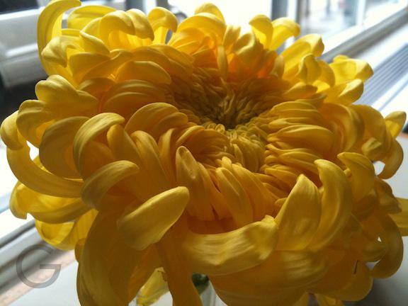 Chrysanthemum in a diner in boystown Chicago