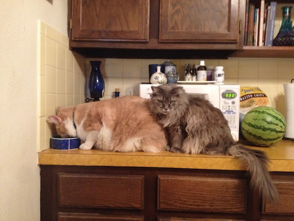 Karl's Cats waiting in line for the food bowl Godmund_com